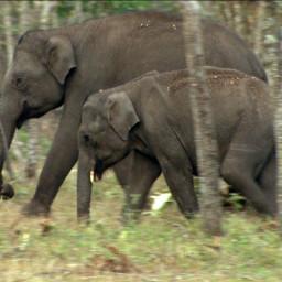 Siam, The Elephant
