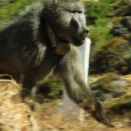 Baboon Bandits: Monkey Alert in South Africa