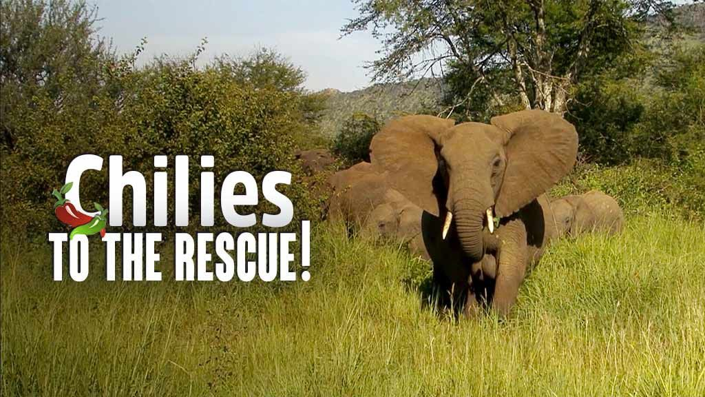 Chilies to the Rescue (Easing the Human-Elephant Conflict)